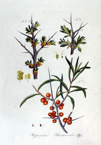 Sea-buckthorn-plant-illustration