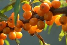 Sea-buckthorn-berries