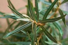 Sea-buckthorn-leaves