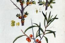 Sea-buckthorn-plant-illustration