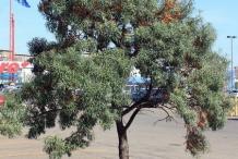 Sea-buckthorn-tree