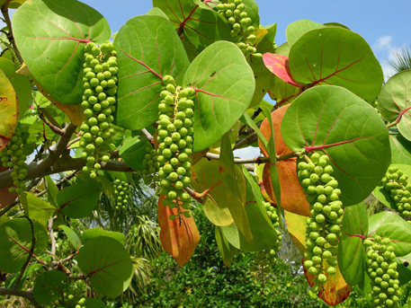 Unripe-fruits-on--the-plant