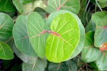 Leaves-of-Sea-Grape