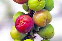 Maturing-fruits