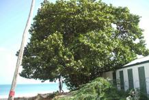 Sea-Grape-tree