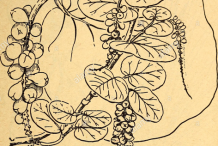 Sea-grapes-plant-sketch