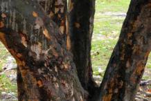 Trunk-of-Sea-Grape-tree