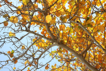 Yellow-leaves-of-Sea-Grape
