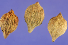 Seeds-of-Sea-Grape