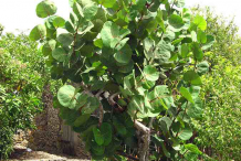 Small-Sea-Grape-plant