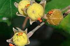 Immature-fruits-of-Sea-hibiscus