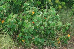 Sea-hibiscus-Plant-growing-wild