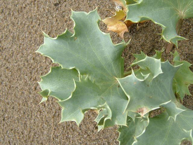 Leaves-of-Sea-Holly