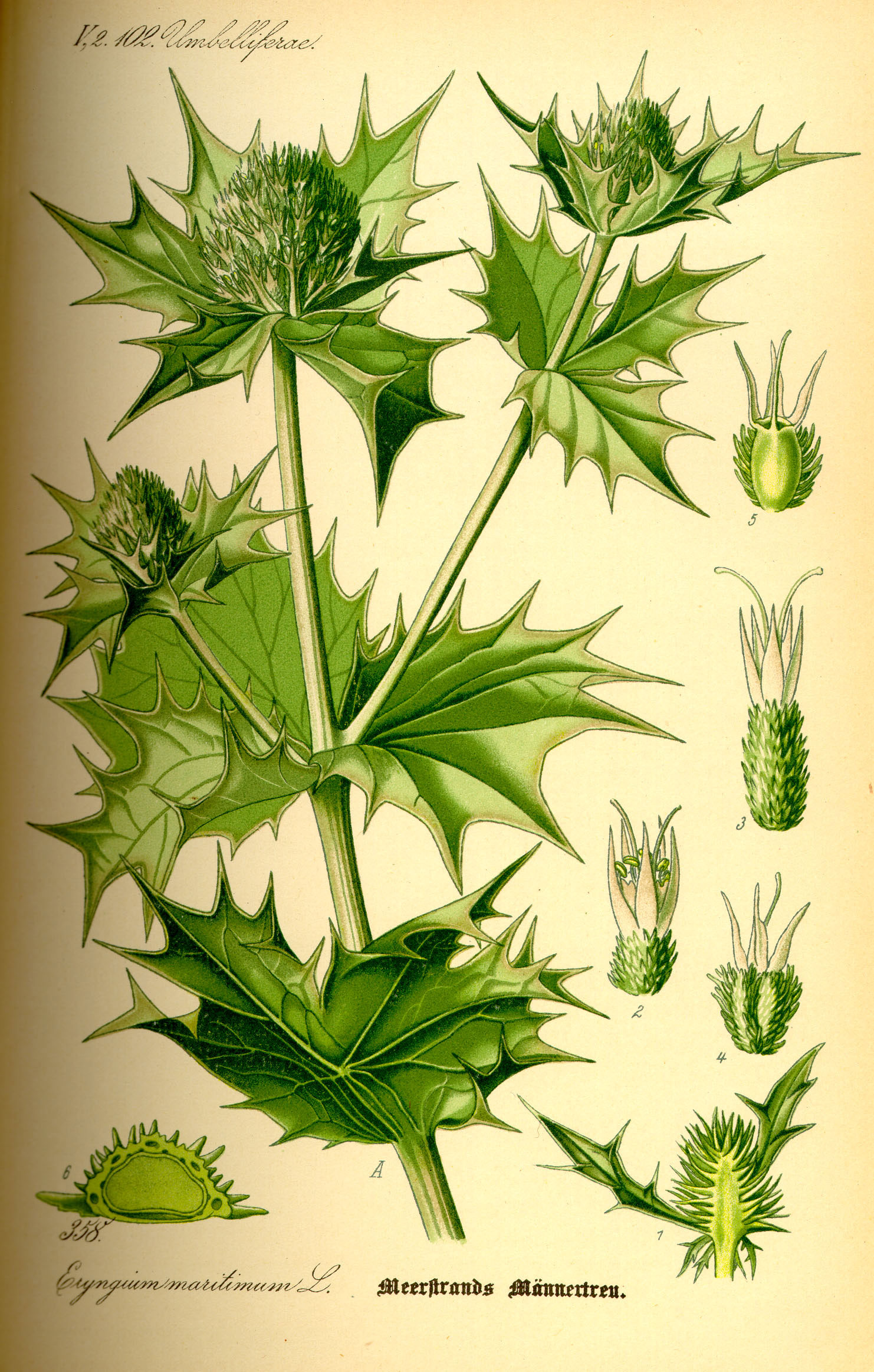 Plant-Illustration-of-Sea-Holly