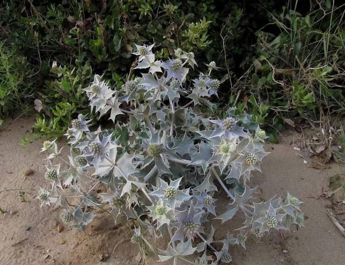 Sea-Holly-Plant