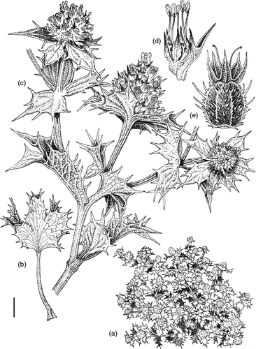 Sketch of Sea-Holly
