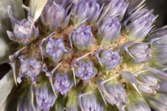 Closer-view-of-flowers-of-Sea-Holly
