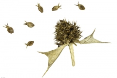 Dried-fruit-and-seeds-of-Sea-Holly