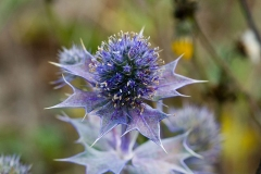 Flower-of-Sea-Holly