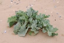 Seakale-plant