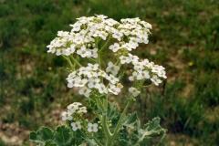 Seakale-flower