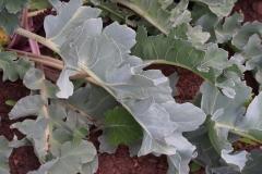 Seakale-leaves