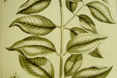 Plant-illustration-of-Seashore-Mangosteen