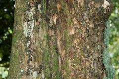 Seashore-Mangosteen-bark