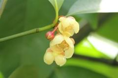 Seashore-Mangosteen-flower