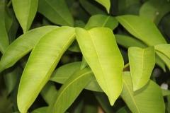 Seashore-Mangosteen-leaves