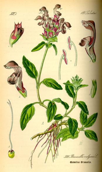 Illustration-of-Self-heal-plant