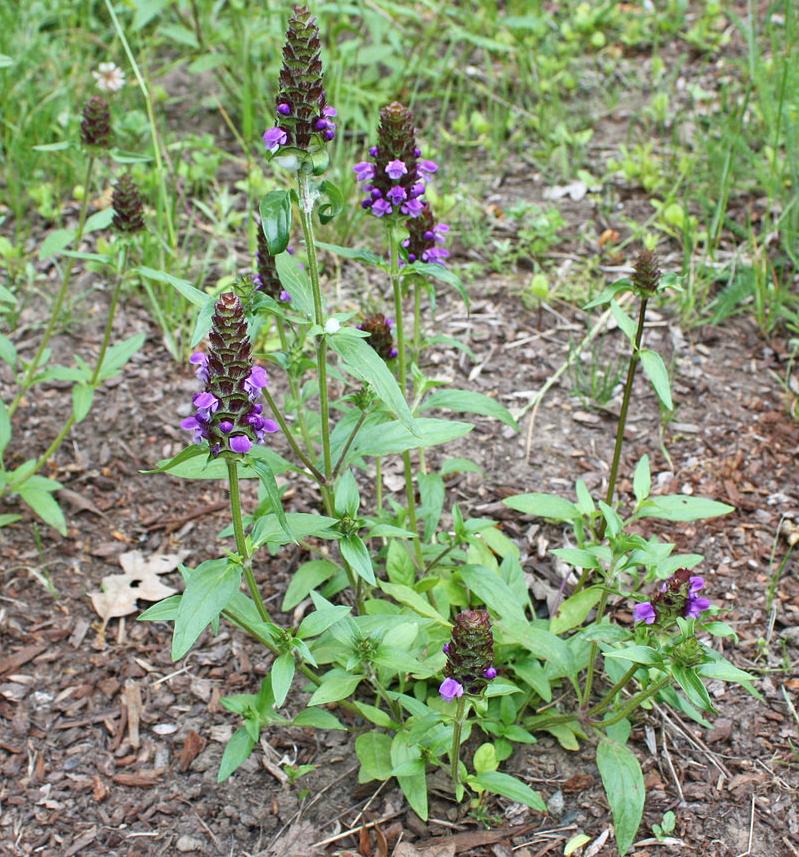Self-heal-plant