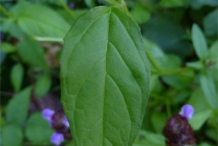Leaves-of-Self-heal