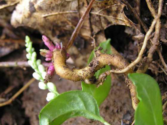 Fresh-Senega-root