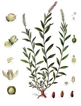 Senega-plant-Illustration