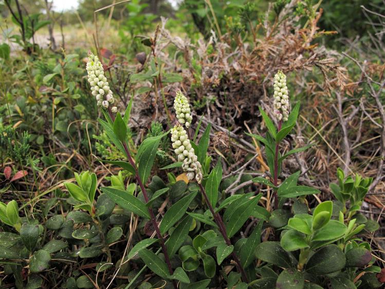 Senega-plant
