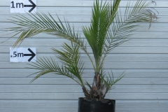 Senegal-Date-Palm-plant