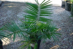 Senegal-Date-palm-leaves