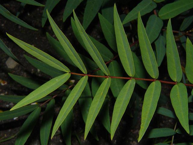 Leaflets-of-Senna-plant