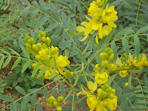Senna-Flowers