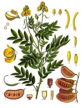 Senna-Plant-illustration