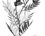Senna-Plant-sketch