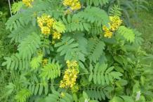Senna-Plant