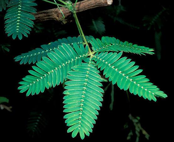 Leaves-of-Sensitive-plant