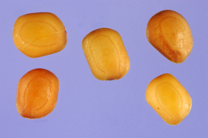 Sentive-plant-seeds