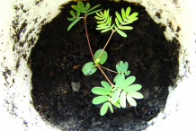 Recently-planted-Sensitive-plant