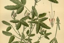 Sensitive-plant-Illustration