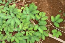 Sensitive-plant-bushes