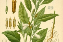 Sesame-plant-illustration