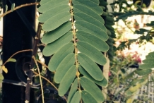 Leaves-of-Sesbania